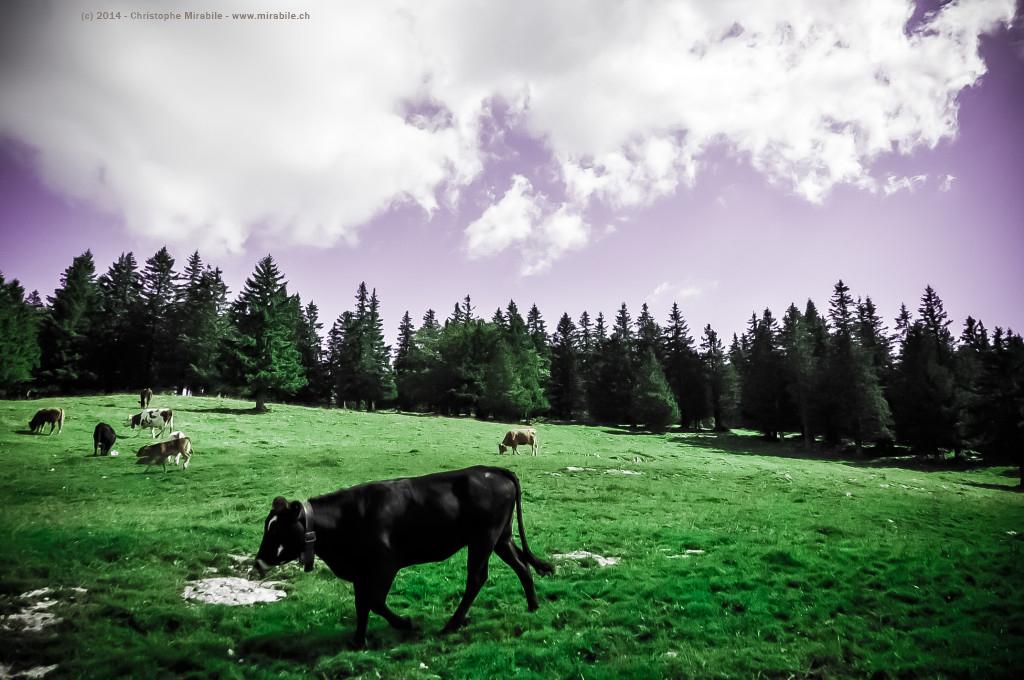 Timelapse : Creux-du-Van, troupau de vaches et taureaux